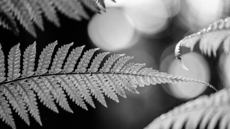 silver fern: Silver fern in black and white representing Newzealand