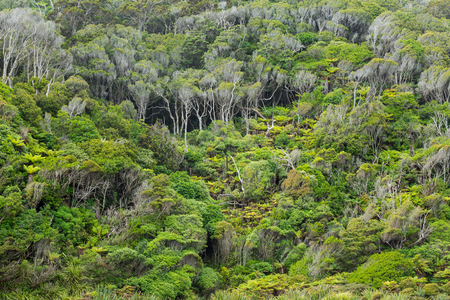silver fern: Native bush of New Zealand on the way to Cathedral Cave