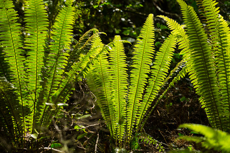 tropical native fern: image of New Zealand silver fern Stock Photo