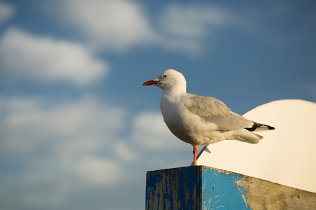 wooden post: Seagull standing on a wooden post in the MOrning