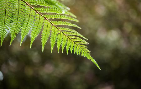 silver fern: Silver Fern Leaf