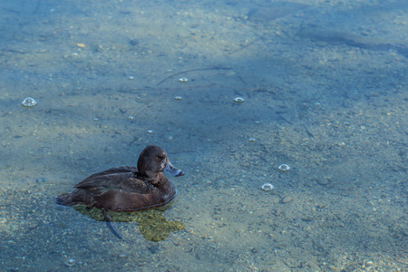 freshwater snails: Black teal, or scaup swimming in the lake Stock Photo