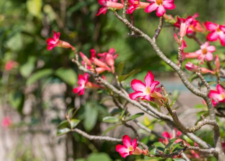 obesum balf adenium: Adenium obesum Balf flower background Stock Photo