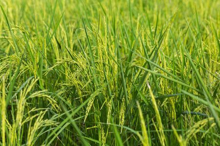 close up image: close up image og green rice field Stock Photo