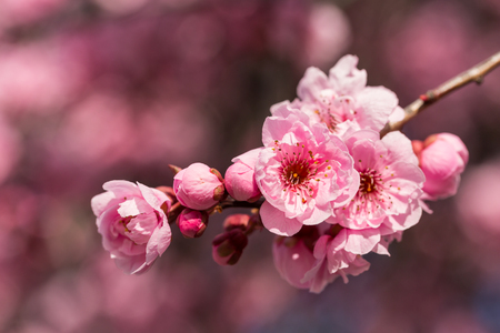 Cherry blossom , pink sakura flower Фото со стока