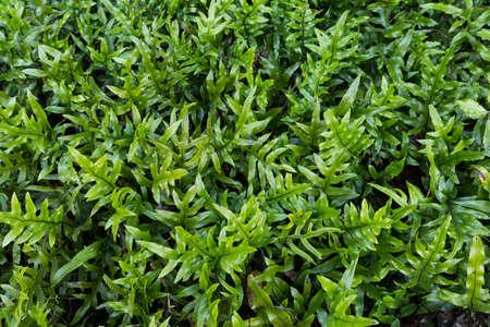 silver fern: fern background Stock Photo