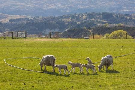 ovejitas: reba�o de ovejas en Nueva Zelanda Foto de archivo