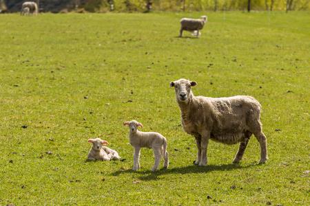 ovejas: reba�o de ovejas en Nueva Zelanda Foto de archivo