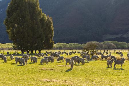 ovejas bebes: rebaño de ovejas en Nueva Zelanda Foto de archivo