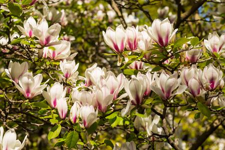 magnolia tree: Saucer Magnolia or Magnolia soulangiana flower Stock Photo