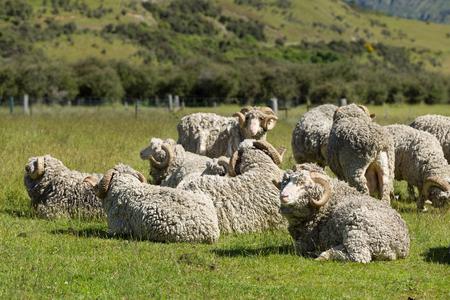 Merino-Schafe in Neuseeland Standard-Bild - 49766822