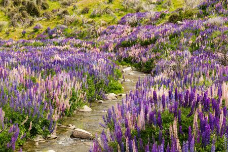aspiring: Lupin flower field on Lindis Pass, New Zealand
