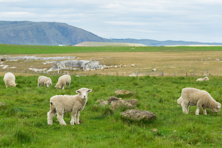 flock of sheep in New Zealand Stock Photo