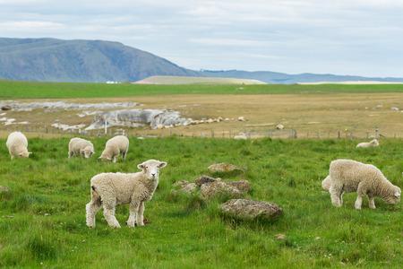 flock of sheep in New Zealand Standard-Bild