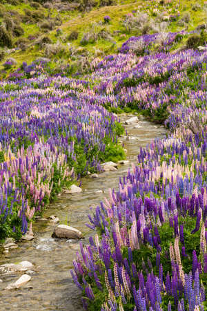 lupin: Lupin flower field on Lindis Pass, New Zealand