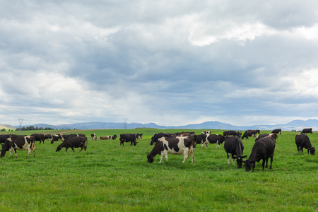 Cows grazing on a green meadow in New Zealand