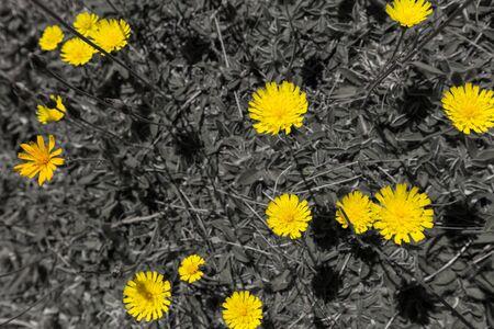 hawkweed: Yellow Hawkweed (hieracium) on black and white background