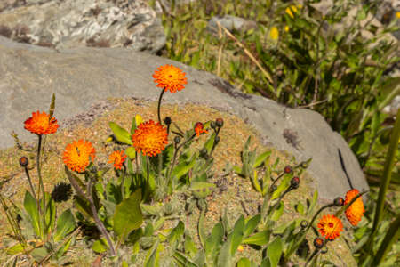 hawkweed: orange Hawkweed (hieracium) blooming in summer Stock Photo