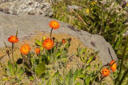 hawkweed: orange Hawkweed (hieracium) blooming in summer Stock Photo