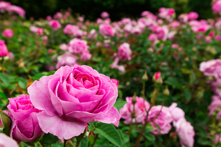 love rose: pink roses garden Stock Photo