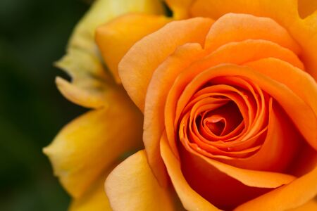 orange rose: beautiful orange rose macro