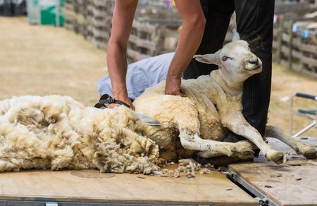 snip: Shearing Sheep Stock Photo