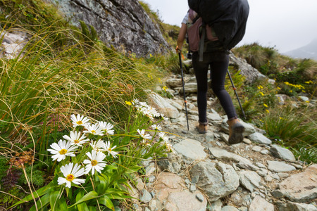 white alpine flower on Routeburn Track, New Zealand Stock Photo