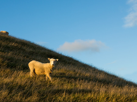 slope: sheep on mountain slope in New Zealand