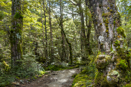 anau: Beech forest on Kepler Track. Kepler Track is one of the New Zealand Great Walks.