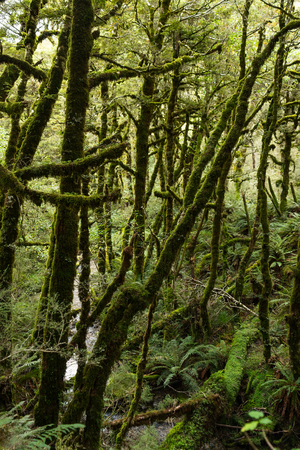 anau: Lush forest along the Kepler Track, one of the New Zealand Great Walks