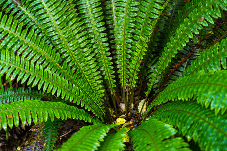 anau: fern forest at Kepler track in Te Anau, New Zealand