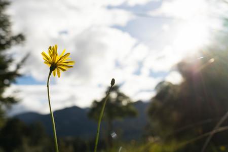kepler: yellow wild daisy at Kepler track in New Zealand Stock Photo