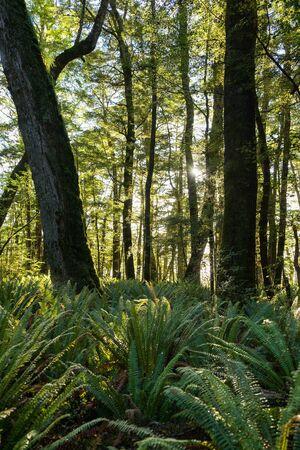 kepler: fern forest at Kepler track in New Zealand