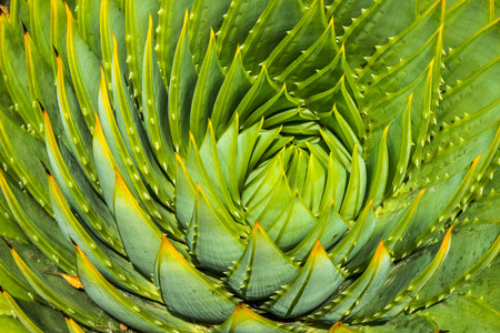 polyphylla: close-up image of spiral aloe cacti Stock Photo