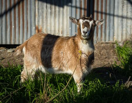 Smiley pet goat in a farm Stock Photo