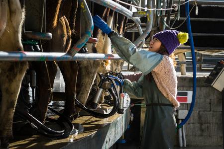 Mujer que trabaja con el equipo de ordeño automatizado de mecanizado Foto de archivo - 68440908