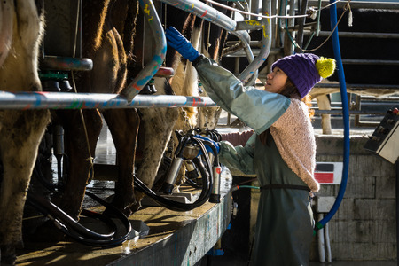 Woman working with Automated mechanized milking equipment Stock Photo