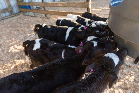 Calves drinking milk at their feeder