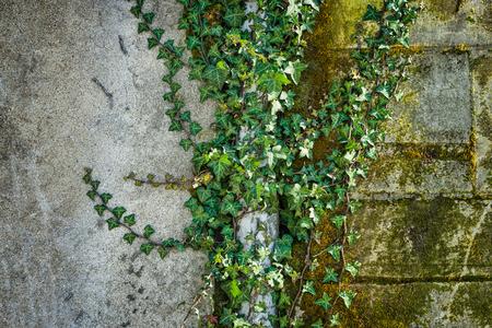 Vine on grunge wall background Stok Fotoğraf