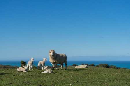 Sheep with lambs on the hill Stok Fotoğraf