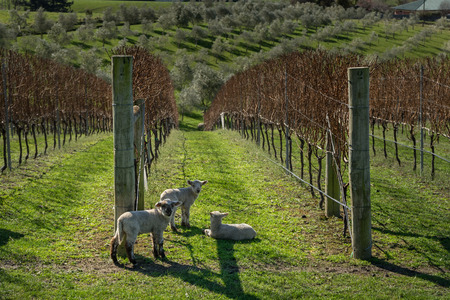 Lambs in vinyard in New Zealand