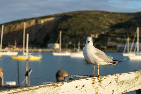 Seagull at harbour in Oamaru, New Zealand Stok Fotoğraf - 68742738