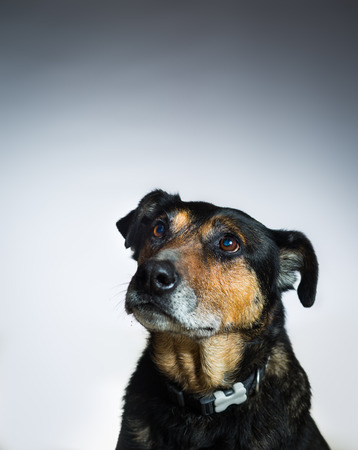 Dog looking up isolated on grey background Stok Fotoğraf - 68742704