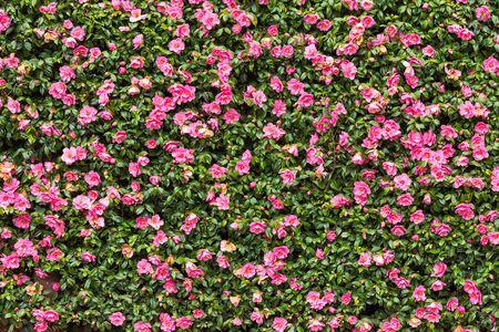 Pink flower hedge background image Stok Fotoğraf