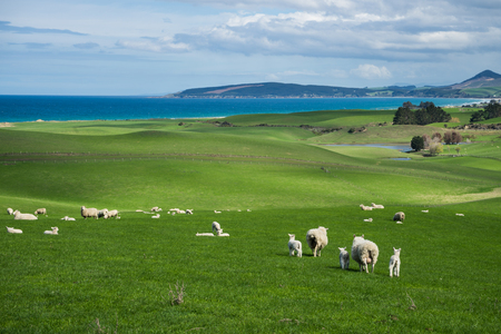 Flock of sheep and lamb at Katiki Point, New Zealand