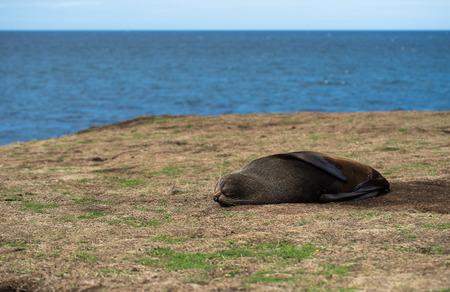 New Zealand Fur Seal resting on a shoreline Stok Fotoğraf