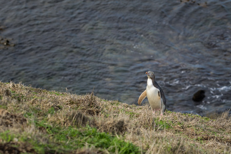 Yellow-eyed penguin  at Katiki Point, New Zealand Stok Fotoğraf - 68747036