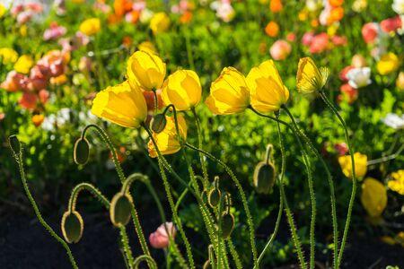 Gelbe Blume im Garten Standard-Bild - 68747039