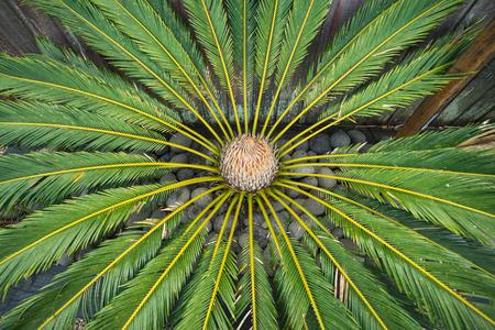 Draufsicht der kleinen Palme im Steingarten Standard-Bild - 69986084