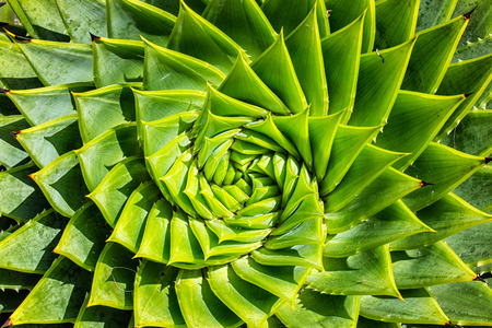 Vista superior de los cactus espirales del aloe Foto de archivo - 70752455